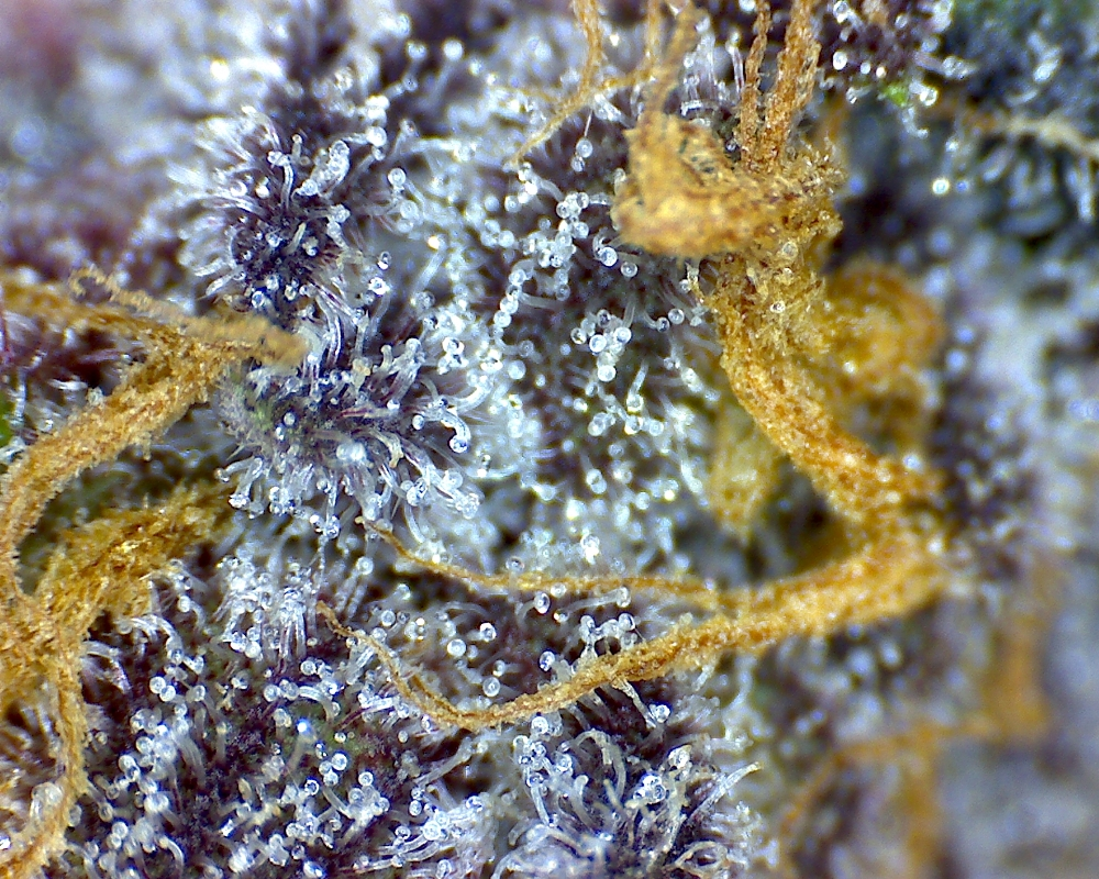 Purple Aurora by Canna Montana, a medical cannabis dispensary in Bozeman, MT
