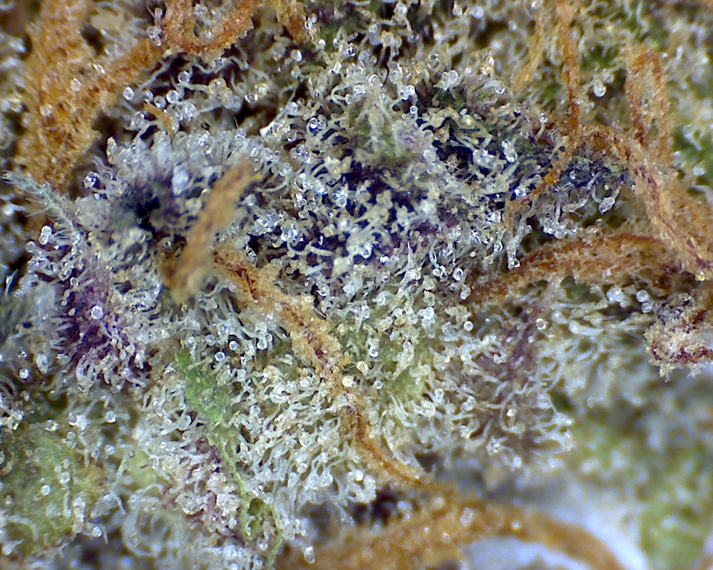 Purple Urkle by Canna Montana, a medical cannabis dispensary in Bozeman, MT